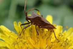 Insecte de Brown sur le pissenlit Image libre de droits