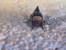 insecte de buffle Images libres de droits