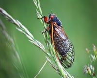 Insecte de cigale sur l'herbe verte avec les yeux rouges Photos stock