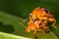 Insecte de coccinelle Photographie stock libre de droits