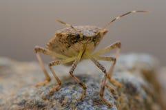 Insecte de courge prêt à voler Images stock