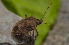Insecte de courge prêt à voler Photo libre de droits