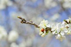 insecte de dame sur la branche fleurissante Images libres de droits