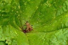 Insecte de dock de Brown sur une feuille verte - marginatus de Coreus photos libres de droits