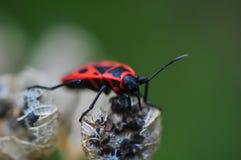 Insecte de feu Image stock