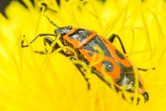 Insecte de feu sur une fleur de pissenlit Photos libres de droits