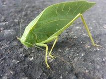 Insecte de feuille Image stock