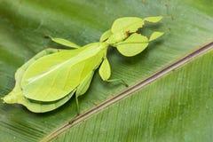 Insecte de feuille Photo libre de droits