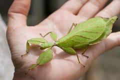 Insecte de feuille du gris en main photo libre de droits
