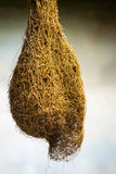 Insecte de géant de cocon Photo libre de droits