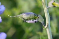 Insecte de gris de cendre Photographie stock