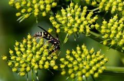 Insecte de guêpe Images libres de droits