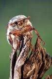 Insecte de hanneton solsticial photos stock