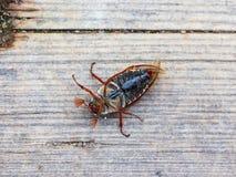 Insecte de juin Photographie stock libre de droits