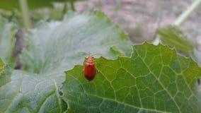 Insecte de Ladybird photo stock