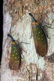 Insecte de lanterne - Pyrops Whiteheadi Photo stock