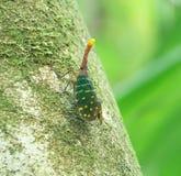 Insecte de lanterne - s'élever de pyrops Photo libre de droits
