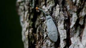 Insecte de lanterne sur l'écorce banque de vidéos