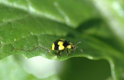 Insecte de Madame Images stock