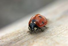 Insecte de Madame au bois photo stock
