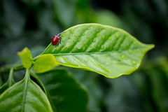 Insecte de Madame de plantation de café Image stock