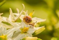 Insecte de Madame sur la fleur Photographie stock
