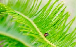 Insecte de Madame sur une paume de sagou Image libre de droits