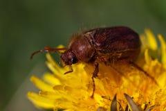 Insecte de mai sur la fleur de pissenlit Photo stock