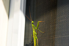 Insecte de mante de prière en nature Mantis Religiosa Photos stock