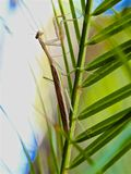 Insecte de mante de prière images libres de droits