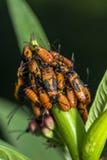 Insecte de Milkweed Images libres de droits