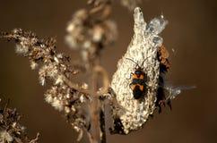 Insecte de Milkweed sur une cosse Photographie stock libre de droits