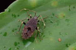 Insecte de Mirid sur la feuille verte photographie stock libre de droits