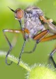 Insecte de mouche de voleur Images libres de droits