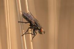 Insecte de mouche se reposant sur la lame de l'herbe Images libres de droits