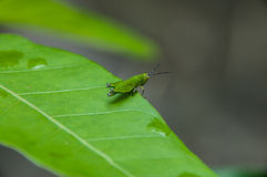 Insecte de observation Photo stock