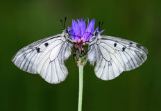 Insecte de papillon Images stock