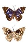 Insecte de papillon Photographie stock libre de droits