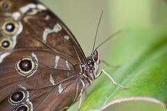 Papillon d'Achille Morpho Photographie stock