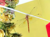 Insecte de Phoring images stock