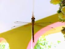 Insecte de Phoring photos libres de droits