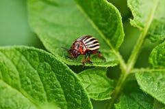 Insecte de pomme de terre Images libres de droits