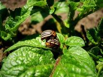 Insecte de pomme de terre Image libre de droits