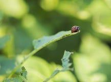 Insecte de pomme de terre Caterpillar Images libres de droits