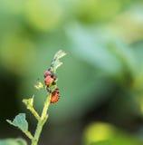 Insecte de pomme de terre Caterpillar Image stock