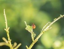 Insecte de pomme de terre Caterpillar Photographie stock