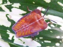 Insecte de puanteur de Longan photos stock