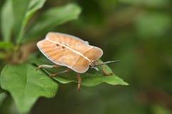 Insecte de puanteur de Spined Images stock