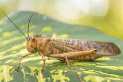 Insecte de sauterelle au jardin botanique, Guayaquil, Equateur Image libre de droits
