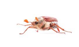 Insecte de scarabée d'isolement photo stock